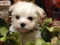 Offering male Maltese for sale. He is 10 weeks old, has