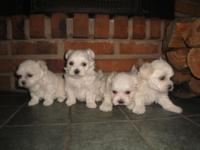 Gorgeous guy Maltese young puppy which will certainly