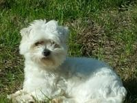 Pure breed Maltese for sale to loving home. Male, born