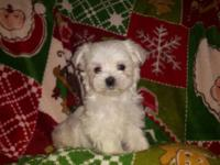 male maltese has first and wormed he is very friendly
