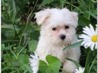 Pure Breed Maltese Puppies Available to approved Homes
