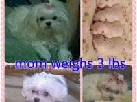 I have a sweet little maltese stud, proven breeder that