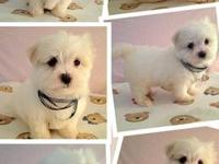 I have two male maltese puppies for sale. They are both