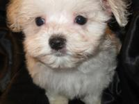 We have two darling Maltese male puppies available. The
