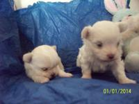 Male maltese dob 12-24-2013. dam is 41/2 pounds/CKC