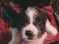 Maltese - Maltese Mix Puppies - Small - Baby - Female -