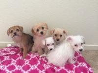 Maltese/Poodle/Minpin mix puppies looking for their new