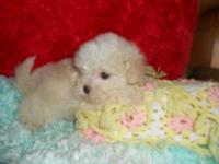 MALTESE/YORKIE PUPPIES, SUPER CUTE AND LITTLE. 10