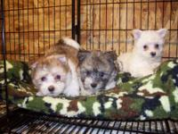 Maltese mixed with Shih Tzu Puppies looking for a