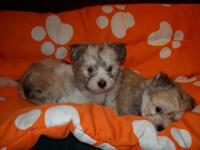 Maltese combined with Shih Tzu Puppies are looking for