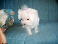 Female Maltese pup for sale she will be 3 1/2- 4lbs