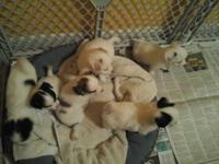 I have 5 cute puppies will be 8wks Nov 8th and ready