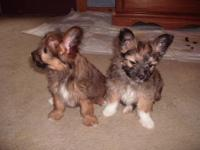 We have1beautiful Maltipom/Papillon puppy.for sale.