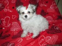 Meet little Sophie. She is an adorable maltipom with a