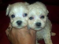 VERY SWEET CUTE MALTIPOO MALES DOB APRIL 13 2013