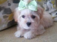 Up for rehoming is this beautiful female maltese poodle