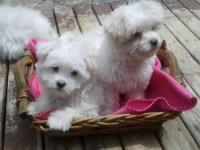 Adorably Cute, Maltese Mix Puppies.  1 boy and 1