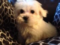 Lovable small maltese male pup. Existing veterinarian