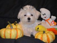 Beautiful Maltese CKC Registered male born on 6/14/15