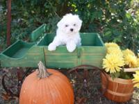 We have a cute litter of Maltese puppies for adoption.