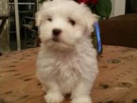 I have 4 fullbred UKC registered Maltese puppies that