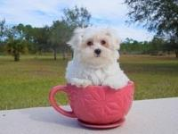 Maltese puppies,Registered/registerable, Current