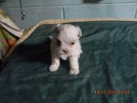 Maltese puppies available now and also at Christmas