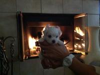 Adorable Maltese puppies for sale. Will be available by
