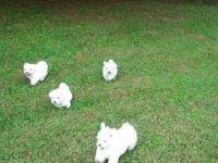 I have two female and two male Maltese puppies. They