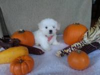 maltese puppies 8 weeks old beautiful puppies they are
