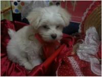 9 weeks old Maltese puppies ready for a new homedad a