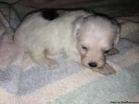 Hello , i have two male maltese puppies mixed with