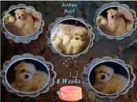 CKC Maltese Puppies 625.00 We havea 10 week old puppy