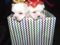 I have 3 lovely maltese fur infant's. Two ladies and