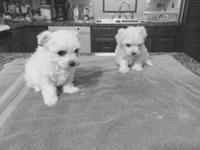 FOR SALE: CKC MALTESE PUPPIES, WILL HAVE FIRST SHOTS