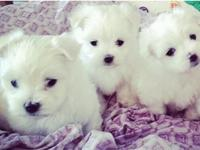 I have 3 adorable Maltese puppies that will be ready to