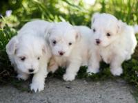 Purebred Maltese Puppies Born May 14th Will have