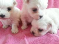 Silky white furred pups with true black points (1 boy