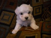 I have 2 pure breed Maltese for sale. One female and