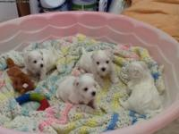 These pups are all white bundles of 100%, pure