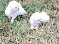 Beautiful Maltese boys. These puppies are registered