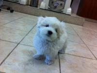 I have 1 male left.Maltese CKC pure breed,He is tiny