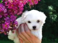9 week old female Maltese puppies ready for their new