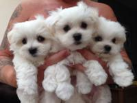 Maltese puppies for adoption. Maltese puppies for