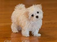 Taking Deposits NOW! Registered purebred maltese