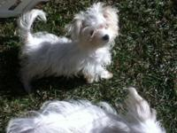 I have 3 Maltese young puppies for sale that need good