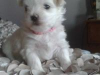 I have 2 beautiful boy Maltese puppies for sale. Really