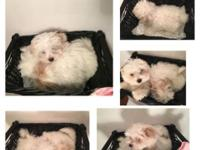 Two female Maltese puppies are available. Both parents