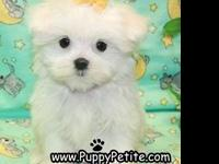 Maltese puppies ? toy and teacup ? 8 to