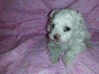 We have two CKC reg. Maltese puppies both are females.